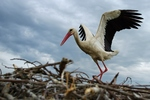 The stork builds a nest.